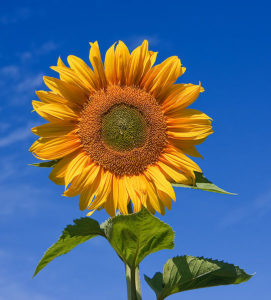 541px-Sunflower_sky_backdrop